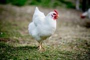 Auf dem Hof der Familie Habermacher können die Hühner das ganz Jahr auf der Wiese sein. (Bilder: Nadia Schärli, 16. April 2019)