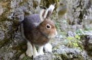 Dieser Schneehase aus Goldau färbt sein Fell wieder von weiss auf braun. (Bild: Natur- und Tierpark Goldau)