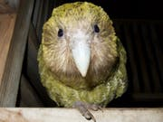 Für einmal ist der Klimawandel auch für etwas gut: Dank der Wärme ist bei den vom Aussterben bedrohten Kakapo-Papageien der Baby-Boom ausgebrochen. (Foto New Zealand Department of Conservation) (Bild: New Zealand Department of Conservation)