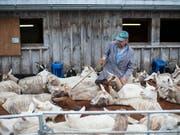 Emmi hat gute Erfahrungen mit Ziegenmilch gemacht und verstärkt diesen Bereich mit dem Kauf der Mehrheit an einem österreichischen Anbieter. (Bild: KEYSTONE/GIAN EHRENZELLER)