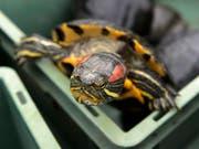 Rotwangen-Schmuckschildkröten sind in der Schweiz seit 2008 verboten. In der freien Natur richtet die invasive Art aus Nordamerika Schaden an. (Bild: KEYSTONE/LAURENT GILLIERON)