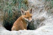 Auch dieser junge, gesunde Fuchs ist nicht vor der Räudemilbe gefeit. (Bild: Daniel Hubacher/Keystone)