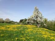Das Osterwochenende war ideal geeignet für eine Blustfahrt per Velo oder eine Blustwanderung von St.Gallen aus an den Bodensee. Wer das wiederholen will, muss am Donnerstag aufbrechen oder die nächste Woche abwarten. (Bild: Reto Voneschen - Watt/b Roggwil, 22. April 2019)