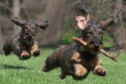 Das Hundegesetz ist in erster Lesung durchberaten. (Bild: Gianfranco Bella - Fotolia)