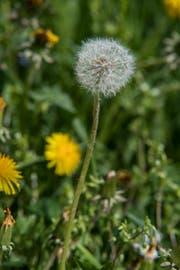 Es gibt sie schon jetzt: Die Pusteblume. Diese hat unser Fotograf Pius Amrein auf Wirzweli gesichtet.