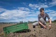Angelika Hartmann bei der Ernte auf einem ihrer beiden Äcker. (Bild: Boris Bürgisser, Ettiswil, 24. April 2019)