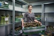 Gemüsebäuerin Angelika Hartmann baut in Ettiswil grüne Spargeln an. (Bild: Boris Bürgisser, 24. April 2019)