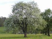 Nicht jeder Birnbaum eignet sich zum Telefonieren.