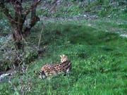 Baselbieter Wildhüter haben am Freitag einen Serval eingefangen. Die vermutlich in Würenlos AG entlaufene afrikanische Wildkatze war in den letzten Wochen mehrmals gesichtet und fotografiert worden. (Bild: Kanton Basel-Landschaft)