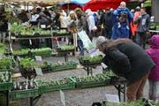 Der Setzlingsmarkt auf Schloss Wartegg ist ein Treffpunkt für alle aus der weiteren Region, die im Frühling ihren Garten neu bestücken wollen. Auch viele Stadtsanktgaller decken sich hier mit Pflanzen ein. (Bild: Reto Voneschen - 28. April 2019)