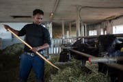 Fithawi Bereket füttert die Wasserbüffel auf dem Hof der Familie Künzle. (Bild: Gian Ehernzeller/Keystone)