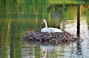 Nach dem Tod eines Schwanenweibchens am Alten Rhein sitzt nun das Männchen auf den Eiern und brütet. (Bild: Archiv/Tagblatt)