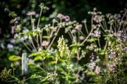 Ein Naturgarten mit blühenden Pflanzen wie dem Weissen Eisenhut. (Bild: Urs Bucher)