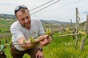 Der Weinbauer Markus Müller aus Weinfelden begutachtet die austreibenden Rebzweige. (Bild: Donato Caspari)