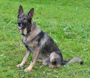 Erfolgreicher Einsatz am Sonntag: Polizeidiensthund Mitch (6) (Bild: PD / Luzerner Polizei)