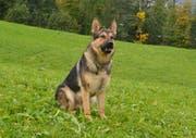 Schäferhund Aeros (4) schnappte sich die Einbrecher. (Bild: PD / Luzerner Polizei)