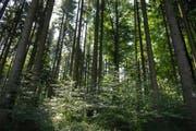 Der Wald bietet Schutz vor Hitze und Klimaerwärmung. Wald in thurgauischen Braunau Bild: Nana Do Carmo