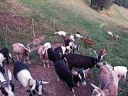 Dieser elektrische Zaun schützt die Ziegen vor dem Wolf. (Bild: Sven Baumgartner)