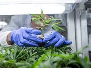 Trotz einer Ausnahmebewilligung des Bundesamtes für Gesundheit für das Arzneimittel Cannabisöl muss eine Solothurnerin zur verkehrsmedizinischen Untersuchung. (Bild: KEYSTONE/EPA MTI/BEA KALLOS)