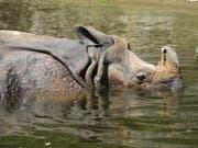 Ein seltenes Nashorn hat in Nepal einen Angler getötet. Der 46-Jährige hatte am Montagabend (Ortszeit) am Rande des Chitwan-Nationalparks in einem Fluss geangelt und war auf dem Heimweg, als ihn das Tier angriff. (Bild: KEYSTONE/DAPD/WINFRIED ROTHERMEL)