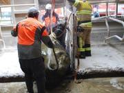 Den Sturz in ein Gülleloch unversehrt überstanden: Eine trächtige Kuh ist in Meierskappel von der Feuerwehr gerettet worden. (Bild: Staatsanwaltschaft Luzern)