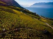 Eine aussergewöhnliche Weinernte hat das heisse und trockene Jahr 2018 gebracht. Im Bild Traubenlese im Lauvaux am Genfersee. (Bild: KEYSTONE/VALENTIN FLAURAUD)