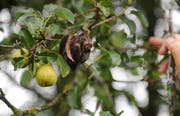 Ein vom Feuerbrand befallener Birnenbaum. Das Krankheitsbild äussert sich unter anderem dadurch, dass Blätter und Blüten sich braun oder schwarz verfärben. Die Pflanze sieht wie verbrannt aus – daher auch der Name. (Bild: Nana do Carmo (17. August 2012))