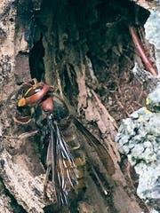 Hornisse sammelt Altholz für den Nestbau. (Bild: Martin Trendle)