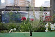 Ein Farbtupfer: In der Telefonzelle steht ein Hochbeet mit Blumen. (Bild: Reto Voneschen)