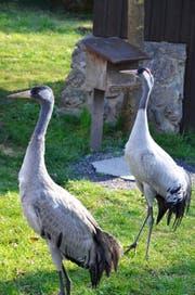 Unterscheiden lässt sich das neue Pärchen anhand des Kopfgefieders: Das Weibchen (rechts) hat einen ausgefärbten Kopf mit leuchtenden Farben. (Bild: Natur- und Tierpark Goldau)