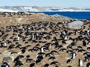 Eine Kolonie Adeliepinguine. Die Ausscheidungen von Pinguinen und See-Elefanten fördern die Artenvielfalt in der Antarktis. (Bild: Keystone/EPA AAD/ANTHONY FLEMING/AUSTRALIAN ANTARCTIC DIVISION)