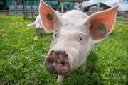 Die «Wiesenschweine» dürfen regelmässig freien Auslauf auf der Wiese geniessen. (Bild: Boris Bürgisser, Schüpfheim, 10. Mai 2019)