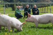 Bei trockenem Wetter werden die «Wiesenschweine» ihrem Namen gerecht und dürfen auf die Wiese (von links): Franz Studer, Oliver Hess und Josef Schmied. (Bild: Boris Bürgisser, Schüpfheim 10. Mai 2019)