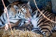 Im Frühling 2018 kamen im Walter-Zoo drei Tiger auf die Welt. Eines der Jungtiere musste später eingeschläfert werden. (Bild: Michel Canonica)