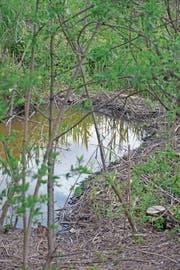 Die kleinen Stauseen am Baffleskanal sind intakt, Frassspuren an feinen Trieben sind zu sehen. Wildhüter Silvan Eugster glaubt, dass die «Baffles»-Biber noch da sind. (Bild: Kurt Latzer)