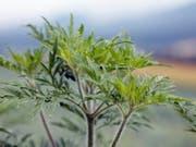Der Bundesrat will das Umweltrecht so anpassen, dass invasive gebietsfremde Pflanzen wie die Ambrosia (Bild) besser bekämpft werden können. (Bild: KEYSTONE/EDDY RISCH)