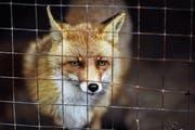 Pelze aus Farmen – im Bild ein Rotfuchs in Käfighaltung – sind Tierschützern ein Dorn im Auge. (Bild: Erika Parfenova/Getty)