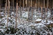 Der Wintersturm «Burglind» hat im Wald von Guido Oehen in Lieli grossen Schaden angerichtet. Ein Jahr danach ist alles weggeräumt und die Schadenfläche mit 1000 Setzlingen neu bepflanzt worden. (Bild: Pius Amrein, Lieli, 4. Januar 2019)