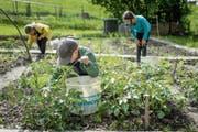 Pflanzen, jäten – und schliesslich eigenes Gemüse ernten: Ein Erfolgserlebnis auch für Kinder. (Bild: Michel Canonica)
