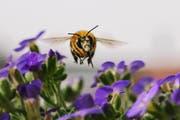 Bienen sind auf einen intakten Lebensraum angewiesen. (Bild: Igor Geiger/Getty)