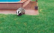Das schöne Tier in Familie Seitz' Garten hat sich sogar genähert, als Donata Seitz die Kamera betätigte. Laut dem Wildhüter ist es eher ungewöhnlich, dass sich Dachse tagsüber zeigen, sie sind dämmerungs- und nachtaktiv. (Bild: Donata Seitz)