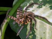 Cupiennius salei ist in Zentralamerika heimisch und eine der am besten erforschten Spinnenarten. Ihr Gift stellt sich als raffinierter Cocktail aufeinander abgestimmter Komponenten heraus. (Bild: Lucia Kuhn-Nentwig/Universität Bern)