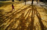 Im Herbst bilden die Blätter des Gingkos einen goldgelben Teppich. (Bild: Epa/Franch Robichon)