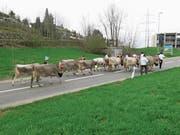 Die Tiere werden für die Auffuhr zur Ausstellung geschmückt, wie etwa hier bei der letzten Viehausstellung in Menzingen. (Bild: PD)