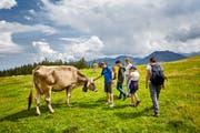 Wanderer in Obwalden begegnen einer Kuh. (Bild: PD)