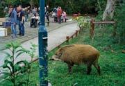 In einem Park in Hongkong kommt ein Wildschwein bei seiner Suche nach Nahrung den Menschen bedrohlich nahe. (Vincent Yu/AP)