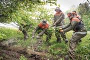 Keine Gefahr mehr für Wildtiere: Gossauer Zivilschützer reissen einen alten Maschendrahtzaun aus dem Gestrüpp am Waldrand. (Bild: Ralph Ribi)