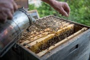 Mit Rauch werden die Bienen ruhiggestellt, was die Arbeit erheblich erleichtert.