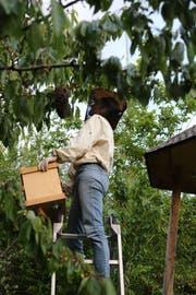 Christina Graf hilft beim Einfangen des Bienenschwarms: Mit einem Ruck schüttelt sie die Bienen vom Ast in den Korb. (Bild: Ines Biedenkapp)