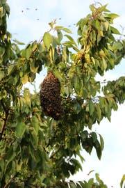 Der Bienenschwarm ist ausgerissen und hat sich zu einer Art Traube zusammengetan. (Bild: Ines Biedenkapp)